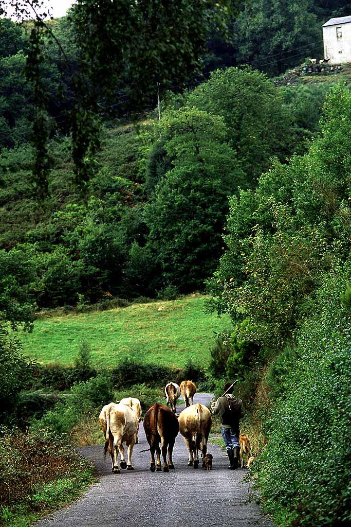 Farmer walking home with his cattle in the Grandas de Salime, Asturias, Spain. S2355