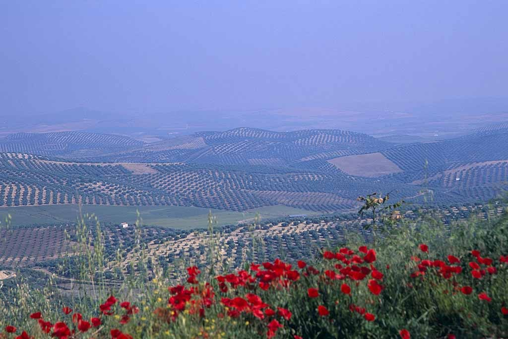 Olive groves and poppies in Andalusia