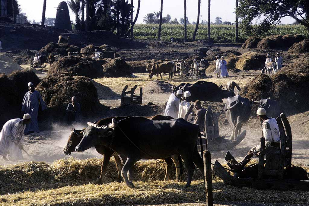 Threshing wheat the ancient way in the Nile Delta. Could have been a thousand years ago. W11289