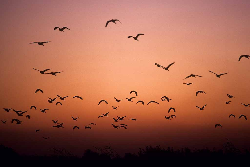 Night birds flying over the Nile at the village of Beni Hassan. W0357