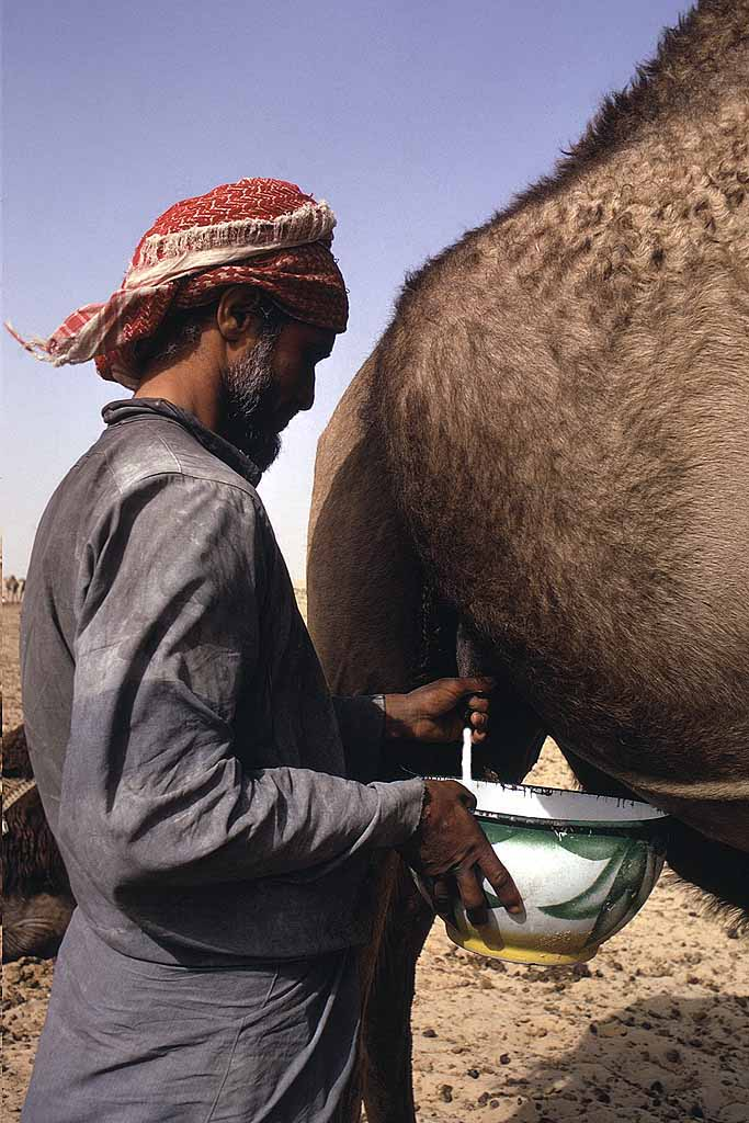 Tribesman milking a camel in the Rub al-Khali, the Empty Quarter, of Saudi Arabia. Camel's milk is an essential part of their diet. W6026