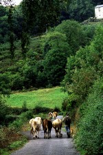 Farmer walking home with his cattle in the Grandas de Salime, Asturias, Spain. S2355