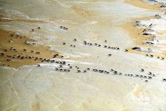 Aerial of camels of the Al-Murrah tribe travelling across the Empty Quarter, the Rub al-Khali. W10372