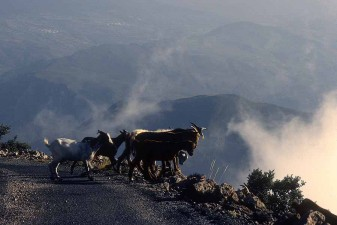 Goats peering over the edge in the freedom of Spain's Alpujarra mountains. W11505