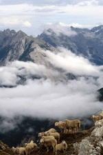 Sheep looking over the precipice in Austrian alps above town of Seefeld, Tyrol. W4994