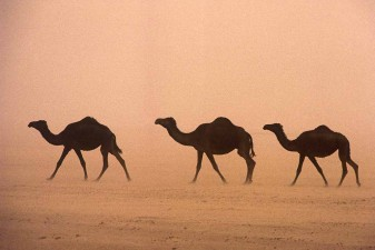 Camels moving through the desert in blinding sandstorm in Saudi Arabia's Empty Quarter - the Rub al-Khali. W10307