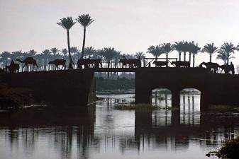 At dusk a procession of cattle, camels and farmers head home from work in the fields. The bridge crosses a canal in the Nile Delta. W6006