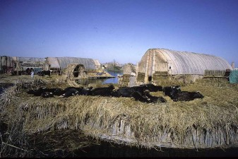 Water buffaloes resting after foraging in the marshes. This is a typical settlement in the Central Marshes. W8880